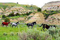 Courtesy photo/PHYLLIS KANE<br /> WILD HORSES<br /> Wild horses are seen June 18 at Theodore Roosevelt National Park in North Dakota.