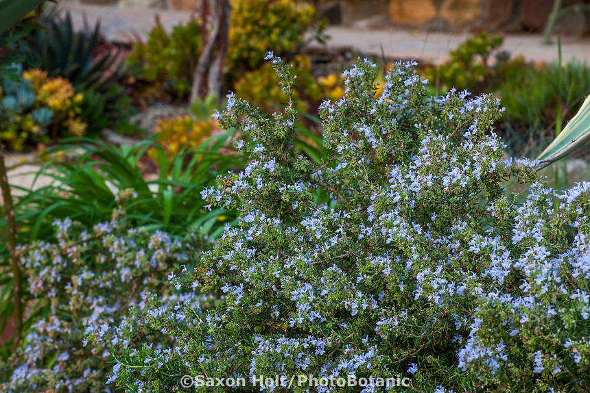 Rosemary, Rosmarinus officinalis drought tolerant herb flowering Debra Lee Baldwin garden