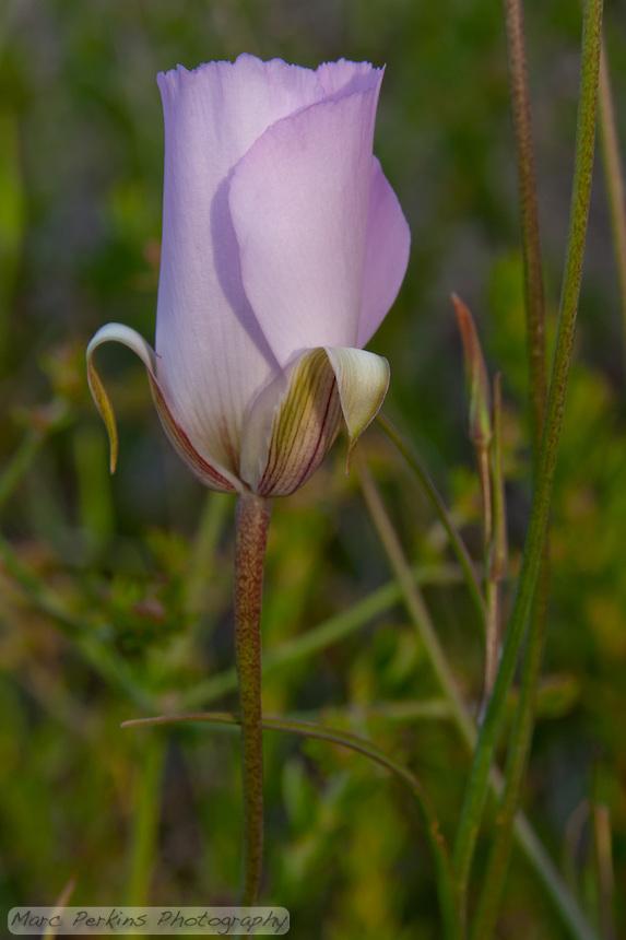 A solitary purple flower seen at Laguna Coast Wilderness Park.
