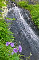 Wild geranium and waterfall, Prince William Sound, Alaska