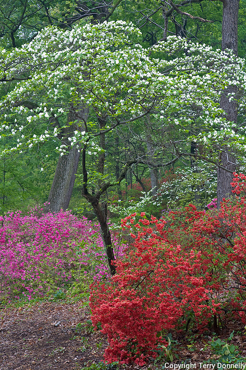 U.S. National Arboretum, Washington D.C.<br /> Blossoms of a dogwood canopy arch over a colorful variety of azaleas in the Glenn Dale hybrid collection