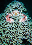 Spotted porcelain crab (Neopetrolisthes maculatus) in anemone, Gorontalo, Sulawesi Indonesia