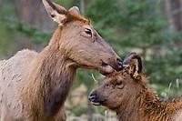Rocky Mountain Elk cow licking calf.  Northern Rockies.  October.