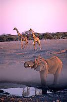 Olifant (Loxodonta africana) en wachtende Giraffes (Giraffa camelopardalis) bij een drinkpoel