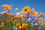 Namaqualand spring flowers, Northern Cape, South Africa