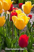 63821-20920 Warm Spring Day Tulips (Tulipa sp) at Cantigny Gardens, Wheaton, IL