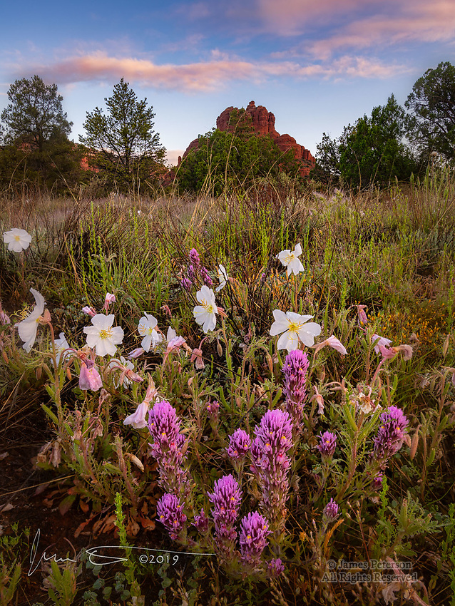 Owl's Clover and Evening Primrose at Bell Rock ©2019 James D Peterson.  After an overnight rainstorm, the sunrise light was gentle and the colors were soft on this spring morning.  It has been a glorious time for wildflowers so far this year, thanks to a very wet winter in the Sedona area - and indeed, throughout the Southwest.