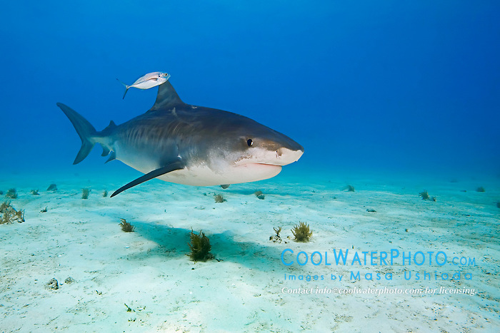 Tiger Shark, Galeocerdo cuvier, accompanied by lone Blue Runner jack, Caranx crysos, West End, Grand Bahama, Atlantic Ocean