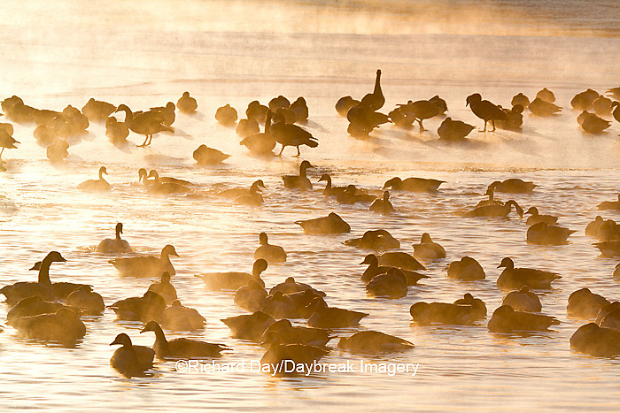 00748-05519 Canada Geese (Branta canadensis) flock on frozen lake,  Marion Co, IL