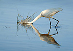 Assateague Island National Seashore, U.S. National Park Service, Virginia. Great white egret.