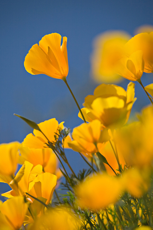 Mexican Gold Poppies, Eschscholtzia mexicana, in Hewitt Canyon, Superstition Wilderness Area, Arizona