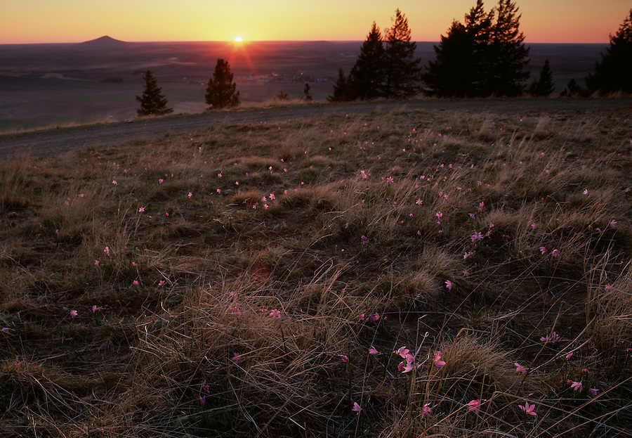 Small pink flowers are backlit by the sun as seen from Skyline Drive of Mary Minerva McCroskey State Park, Idaho.