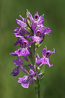 Southern Marsh x Common Spotted Orchid hybrid