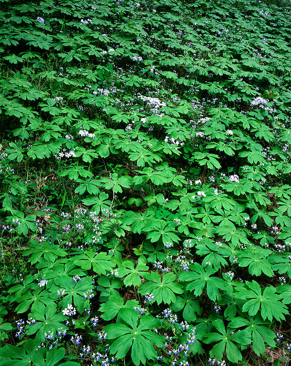 Blue-Eyed Marys (Collinsia verna), Blue Phlox (Phlox divaricata) and Mayapples (Podophyllum peltatum) on the Guyandotte Beauty Trail; Chief Logan State Park, WV