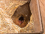 Mother hen brooding eggs on nest<br />