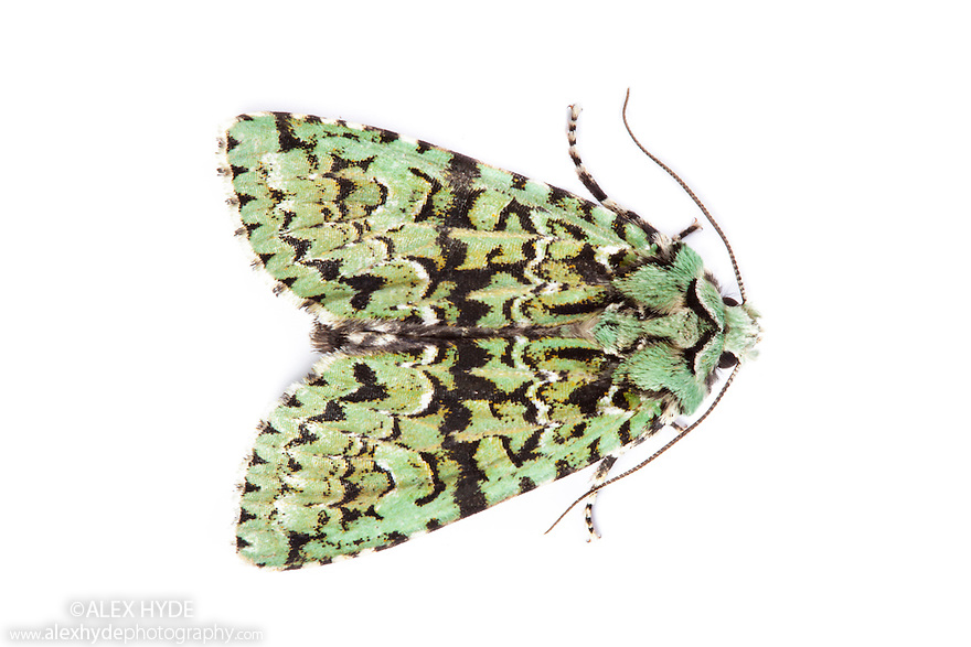 Merveille-du-Jour moth {Dichonia aprilina}, a species well camouflaged against lichen. Photographed on a white background. Derbyshire, UK. October.