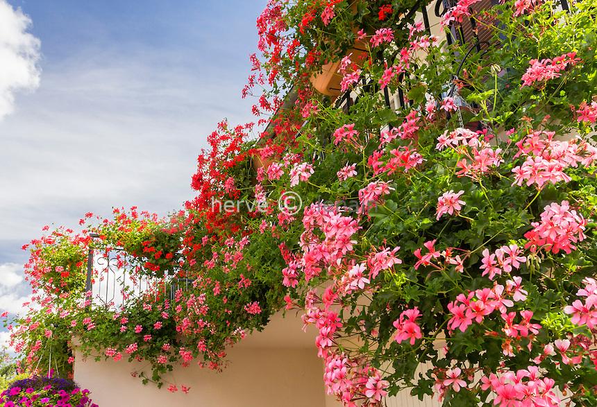 Pelargonium peltatum, ou géranium des balcons // Pelargonium peltatum, common names ivy-leaf geranium and cascading geranium