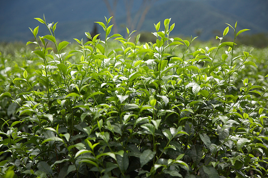 Unpicked tea plants near the town of Chimate in the fertile Yungas region of Bolivia.