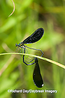 06014-003.03 Ebony Jewelwing (Calopteryx maculata) male & female in copulation wheel, Lawrence Co. IL