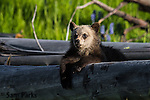 Young grizzly bear cub. Yellowstone National Park, Wyoming.