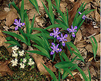 Crested Dwarf Iris (I. cristata) and Stonecrop (Sedum ternatum) in bloom on the Chestnut Top Trail; Great Smoky Mountains National Park, TN