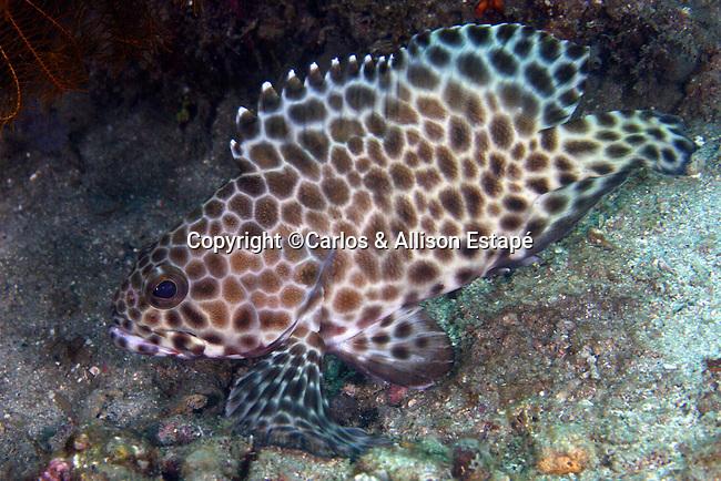Epinephelus quoyanus, Longfin grouper, Lembeh, Indonesia