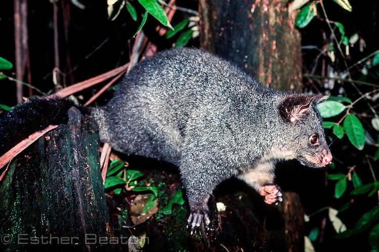 Bobuck or Mountain Brushtail Possum (Trichosurus cunninghamii). Central Highlands, Victoria.