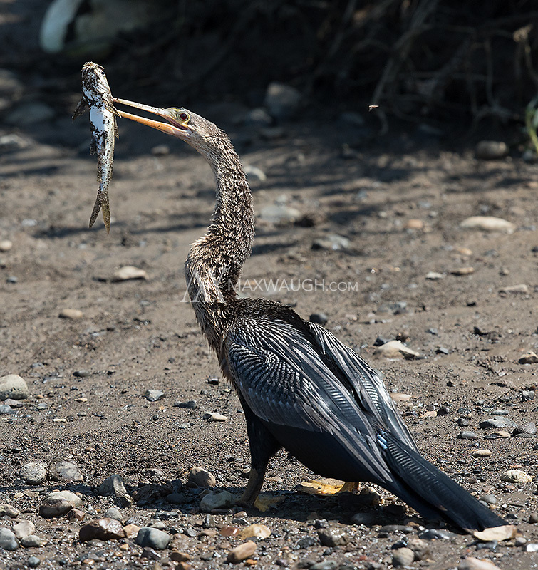 An anhinga pauses before working out how to swallow its prize.