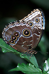 Morpho peleides Butterfly, underside of wings, Belize, showing eye spots