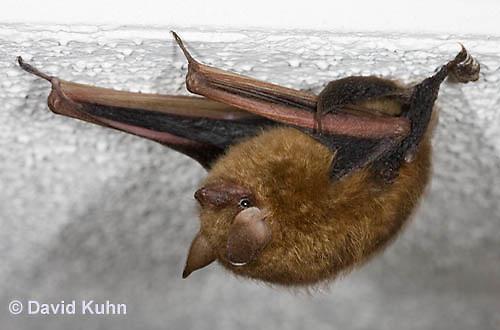 0411-1007  Little Brown Bat (syn. Little Brown Myotis), Myotis lucifugus  © David Kuhn/Dwight Kuhn Photography.