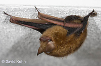 0411-1007  Little Brown Bat (syn. Little Brown Myotis), Myotis lucifugus  © David Kuhn/Dwight Kuhn Photography.