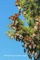 03536-05907 Monarch Butterflies (Danus plexippus) roosting in Eastern Red Cedar (Juniperus virginiana)  Prairie Ridge State Natural Area, Marion Co., IL