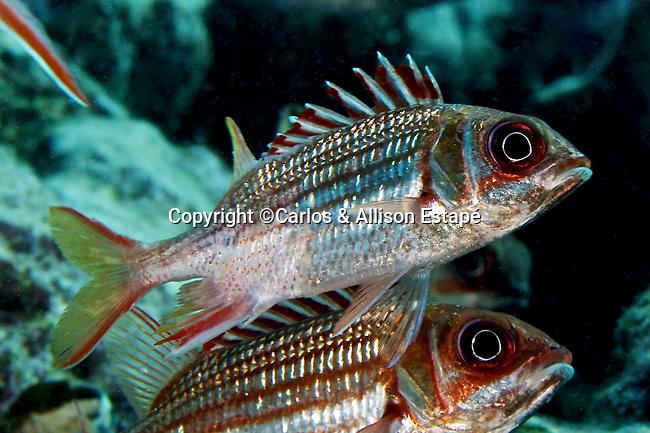 Neoniphon vexillarius, Dusky squirrelfish, Florida Keys