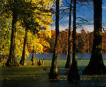 Horseshoe lake Conservation Area, IL<br /> Bald Cypress and Tupelo trees in fall color on Horseshoe Lake