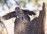 A Great Gray Owl nestling flapps its wings as it nears fledging.