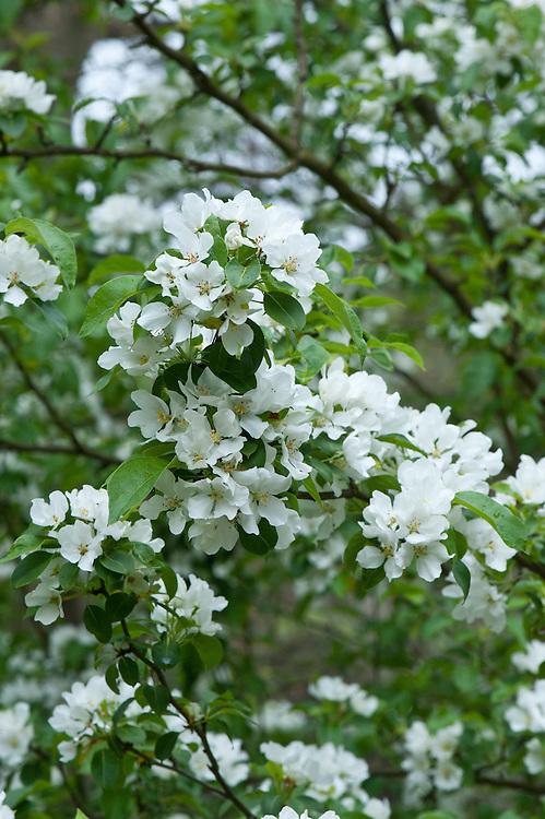 Blossom of Siberian crab apple tree (Malus baccata), mid April.