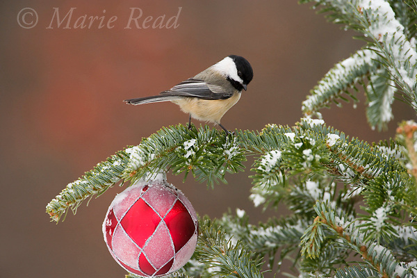 Black-capped Chickadee with Christmas decoration (Poecile atricapillus).