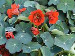 Nasturtium, Tropaeolum speciosum 'Red Wonder'