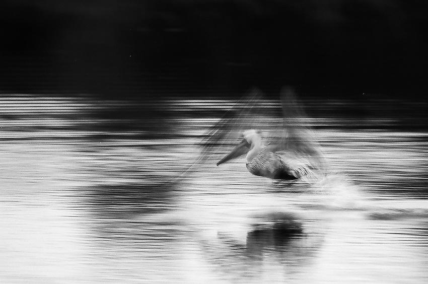 Pelican No. 2 ,  35mm image on Ilford Delta 100 film