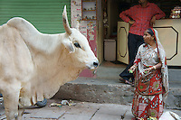 A woman offers food to a holy cow in Varanasi, close to the ghats of River Ganga.