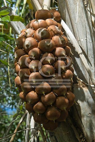 Chapada dos Veadeiros, Brazil. Babassu palm tree (Orbignya speciosa, Attralea speciosa).