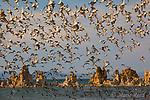 WIlson's Phalaropes (Phalaropus tricolor) flock take flight at South Tufa, Mono Lake, California, USA