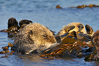 Sea Otter (Enhydra lutris) wrapped in kelp.
