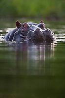 Vertical portrait of a hippopotamus in the Khwai River