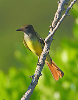 Juvenile great crested flycatcher