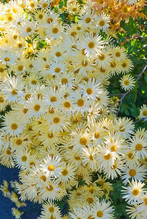 Dendranthema Ryan's Yellow chrysanthemum