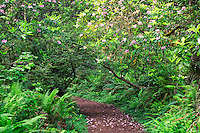 Rhododendrons on the coastal trail in the Del Norte Coast Redwoods State Park, Redwood National and State Parks, California