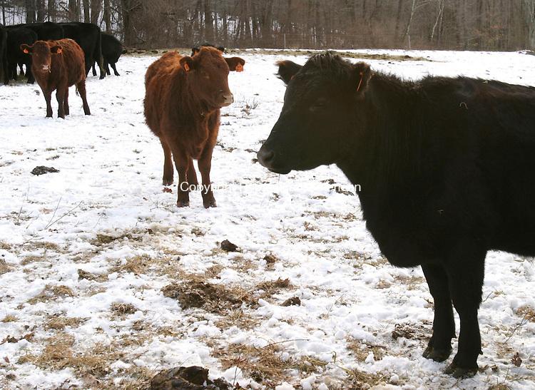 LITCHFIELD, CT 01/24/08- 012408BZ05- Grass fed beef cattle raised by John Morosani and business partner Jim Abbott in Litchfield.<br /> Jamison C. Bazinet Republican-American