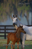 Bob, ANIMALS, REALISTISCHE TIERE, ANIMALES REALISTICOS, horses, photos+++++,GBLA3681,#a#, EVERYDAY
