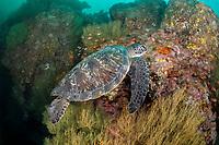 Galapagos green turtle, Chelonia agassizii, endangered species, Gordon Rocks, Galapagos Islands, Ecuador